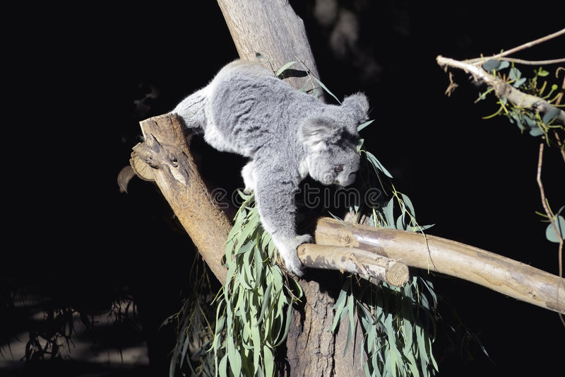 αναρρίχηση του koala στοκ φωτογραφία με δικαίωμα ελεύθερης χρήσης