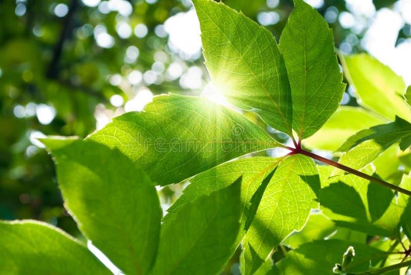 αναρριχητικό φυτό Βιρτζίνι&alpha στοκ εικόνα με δικαίωμα ελεύθερης χρήσης