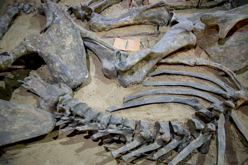 Ανασκάπτοντας απολιθώματα δεινοσαύρων στοκ εικόνες