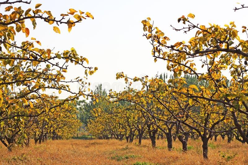 ανασκόπησης κόκκινο δέντρο αχλαδιών αχλαδιών φυλλώματος πράσινο στοκ εικόνα