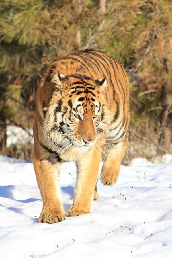 ανασκόπησης μαύρη κορυφή τιγρών πορτρέτου σιβηρική στοκ εικόνες με δικαίωμα ελεύθερης χρήσης