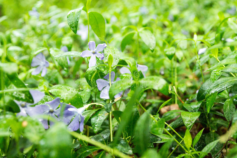 ανασκόπησης όμορφο φως απεικόνισης λουλουδιών δασικό πασχαλιά λουλουδιών Ξέφωτο των δασικών λουλουδιών ενάντια ανασκόπησης μπλε σ στοκ εικόνες