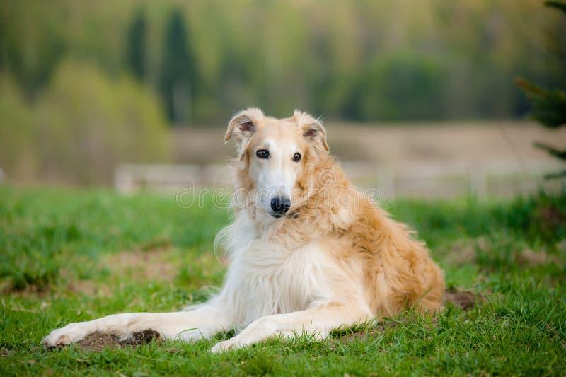 ανασκόπησης borzoi στενό ρωσικό επάνω λευκό σχεδιαγράμματος πορτρέτου σκυλιών επικεφαλής στοκ εικόνα με δικαίωμα ελεύθερης χρήσης