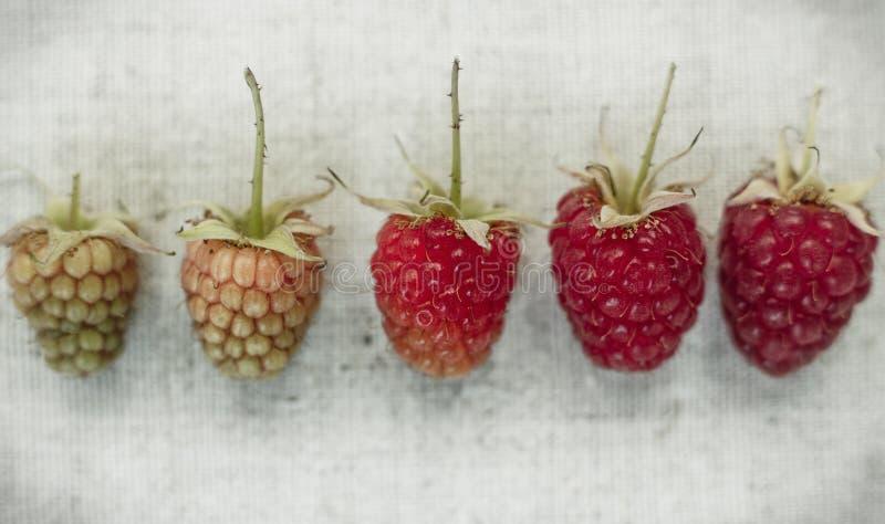 Ανασκόπηση σμέουρων Διαφορετικό είδος ripeness του σμέουρου στοκ εικόνες