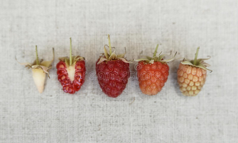 Ανασκόπηση σμέουρων Διαφορετικό είδος ripeness του σμέουρου στοκ φωτογραφία με δικαίωμα ελεύθερης χρήσης