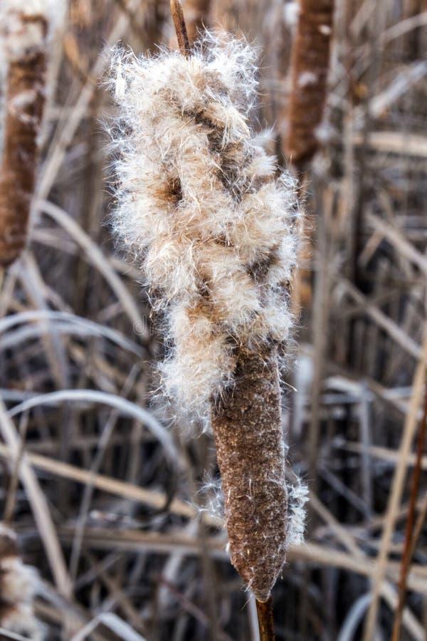 Ανατίναξη cattail σε ένα έλος στοκ εικόνες