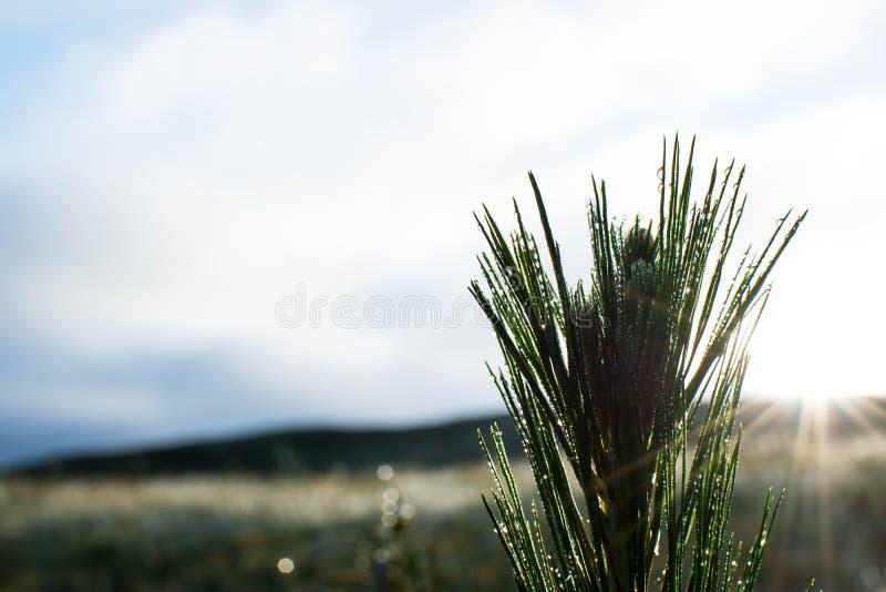 Ανατολή με το δέντρο πεύκων μωρών στοκ εικόνες με δικαίωμα ελεύθερης χρήσης