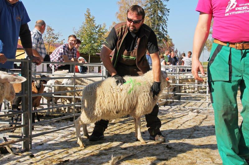 Ανατολικά φρισλανδικά πρόβατα στην έκθεση στοκ φωτογραφία