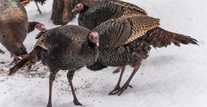 Ανατολικές άγριες κότες silvestris gallopavo της Τουρκίας Meleagris στοκ φωτογραφίες