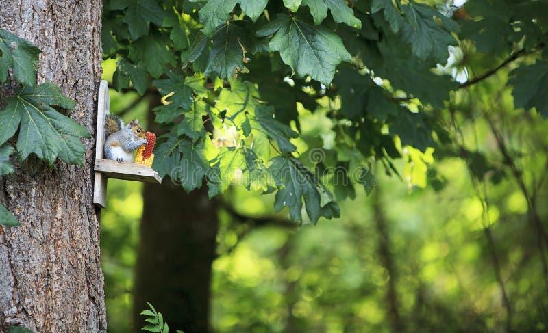 Ανατολικός γκρίζος σκίουρος που τρώει το καλαμπόκι στοκ εικόνα