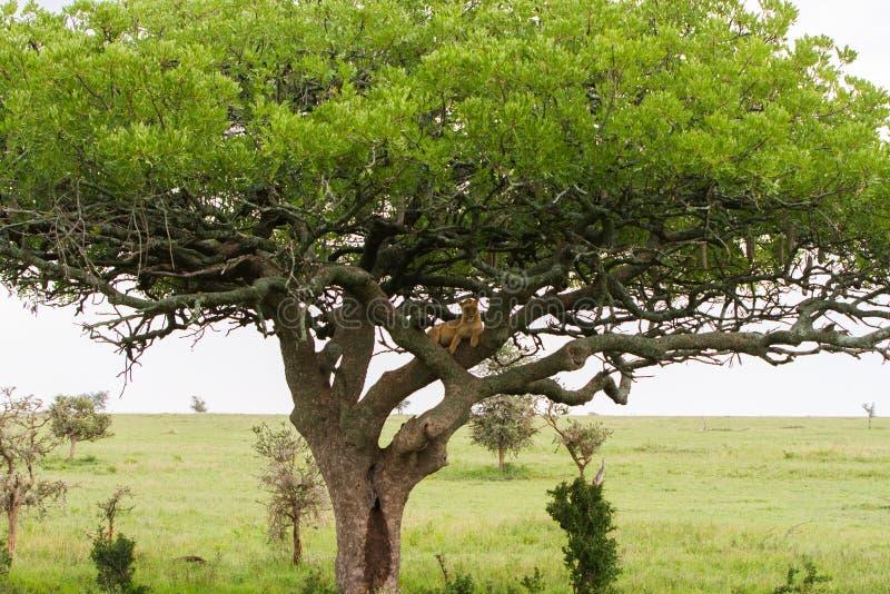 Ανατολικό αφρικανικό leo Panthera λιονταρινών στο δέντρο στοκ εικόνες