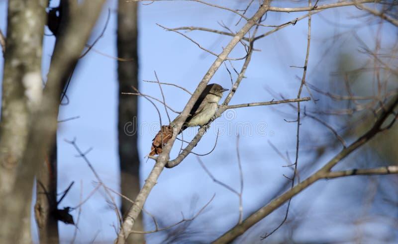 Ανατολικό κρύψιμο πουλιών της Phoebe στη σκιά του κλάδου δέντρων, Γεωργία ΗΠΑ στοκ εικόνες με δικαίωμα ελεύθερης χρήσης