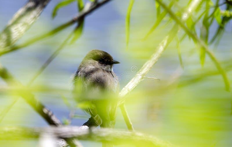 Ανατολικό κρύψιμο Songbird της Phoebe στα φύλλα, κομητεία Γεωργία, ΗΠΑ Walton στοκ φωτογραφία με δικαίωμα ελεύθερης χρήσης
