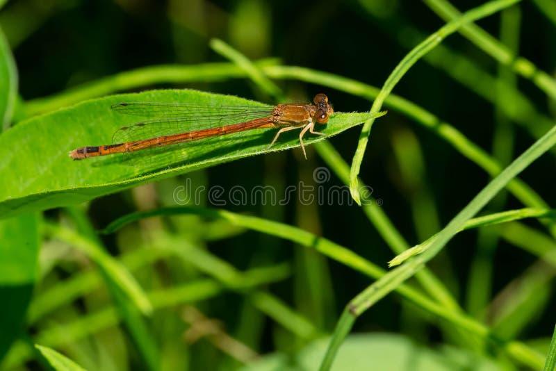 Ανατολικό κόκκινο δεσποινάριο Damselfly - saucium Amphiagrion στοκ εικόνες