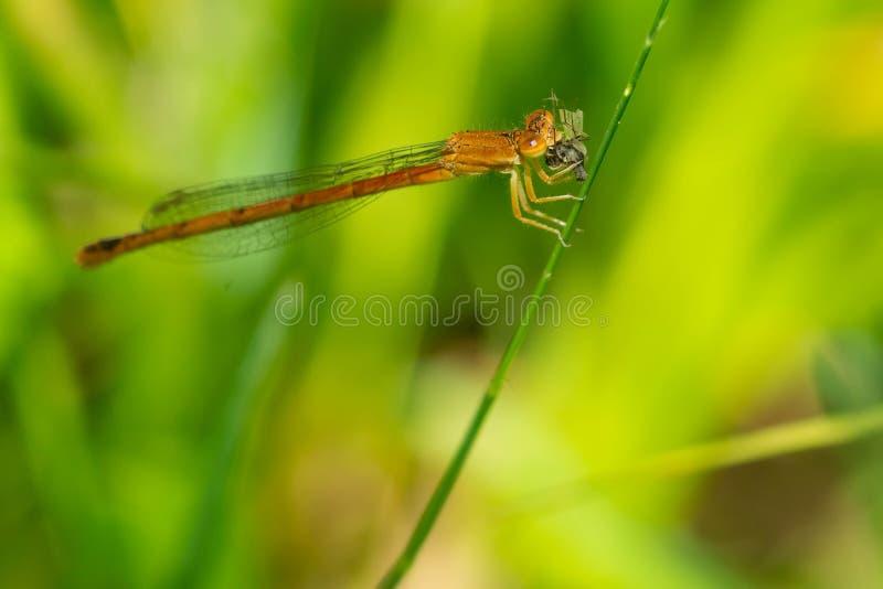 Ανατολικό κόκκινο δεσποινάριο Damselfly - saucium Amphiagrion στοκ φωτογραφίες