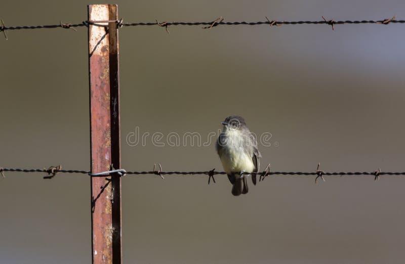 Ανατολικό πουλί της Phoebe σε οδοντωτό - φράκτης λιβαδιού καλωδίων, Γεωργία ΗΠΑ στοκ εικόνες
