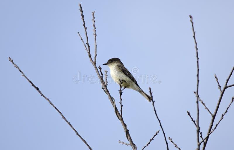 Ανατολικό πουλί της Phoebe Flycatcher στον κλάδο, Γεωργία, ΗΠΑ στοκ εικόνες