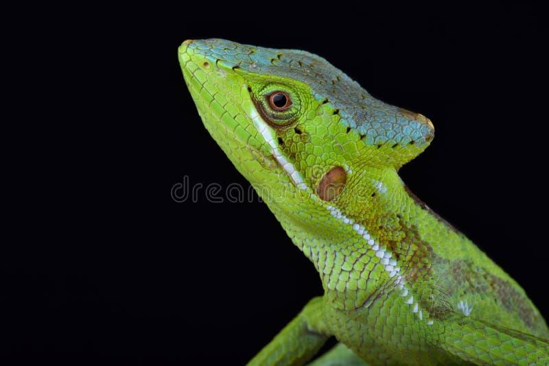 Ανατολικό iguana Laemanctus casquehead longipes στοκ εικόνες