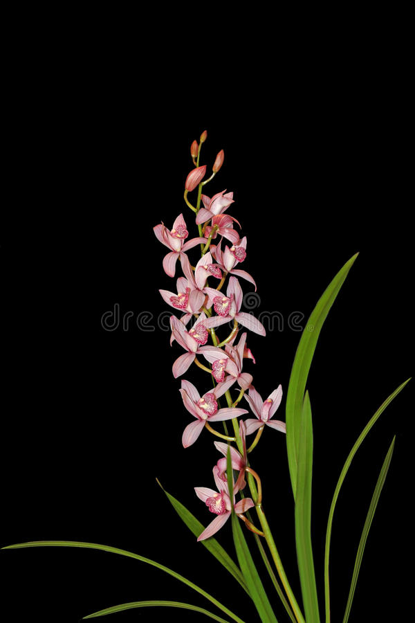 ανατολικό orchid cymbidium παραλιών στοκ φωτογραφία με δικαίωμα ελεύθερης χρήσης