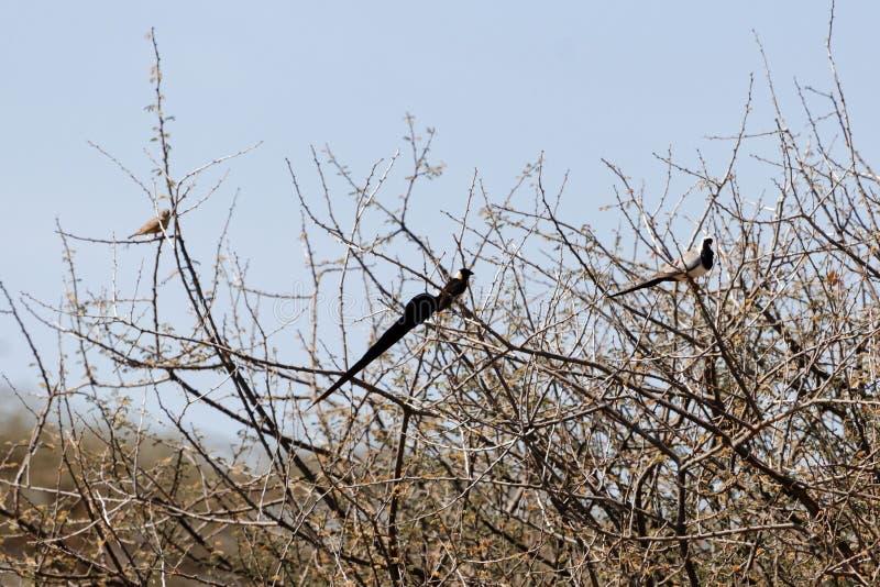 Ανατολικό paradisaea Vidua πουλιών Whydah παραδείσου σε έναν θάμνο στοκ φωτογραφία με δικαίωμα ελεύθερης χρήσης