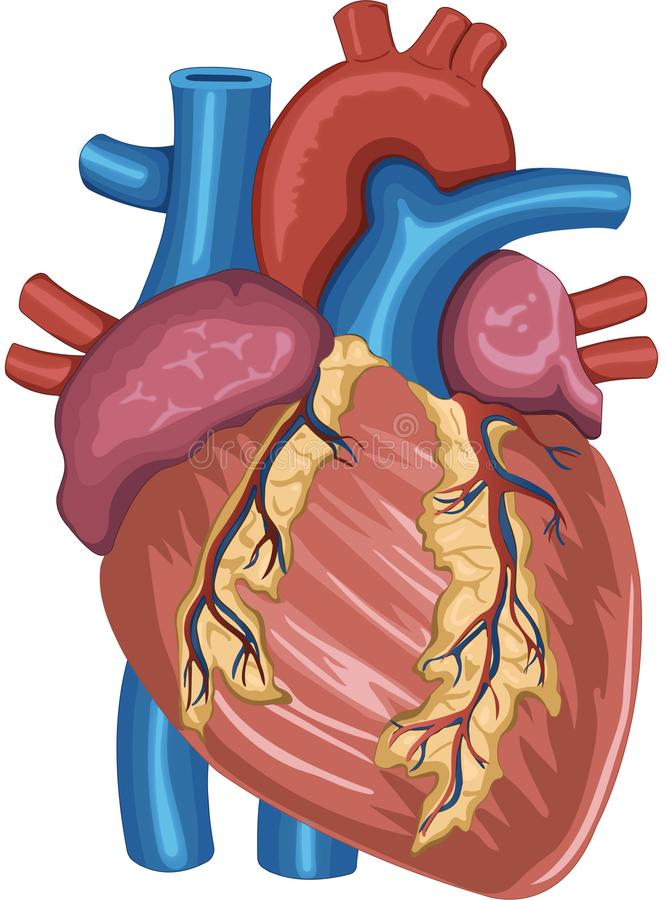 Ανατομία ανθρώπινης καρδιάς χρωματισμένη ψηφιακά διανυσματική απεικόνιση