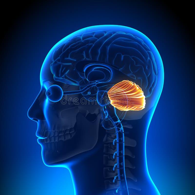 Ανατομία εγκεφάλου - παρεγκεφαλίδα ελεύθερη απεικόνιση δικαιώματος