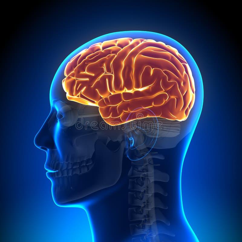 Ανατομία εγκεφάλου - σύνολο εγκεφάλου ελεύθερη απεικόνιση δικαιώματος