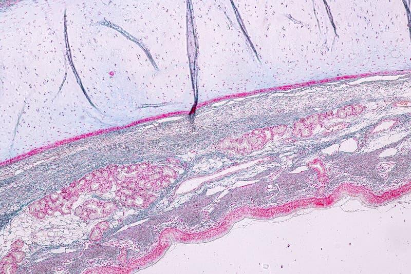 Ανατομία εκμάθησης και φυσιολογία του κιονοειδούς epithellum Pseudostratified κάτω από το μικροσκοπικό στοκ φωτογραφία