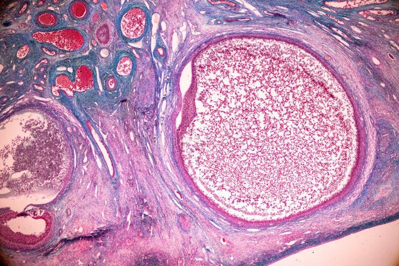 Ανατομία εκμάθησης σπουδαστών και φυσιολογία της ωοθήκης κάτω από το μικροσκοπικό στοκ εικόνες