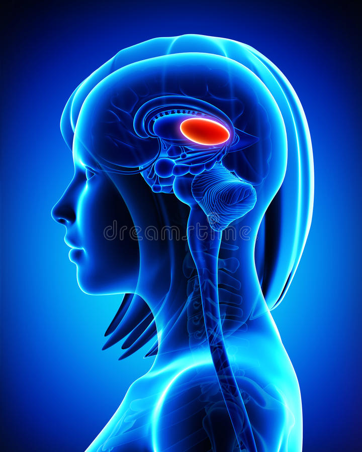 Ανατομία θαλάμων εγκεφάλου του θηλυκού απεικόνιση αποθεμάτων