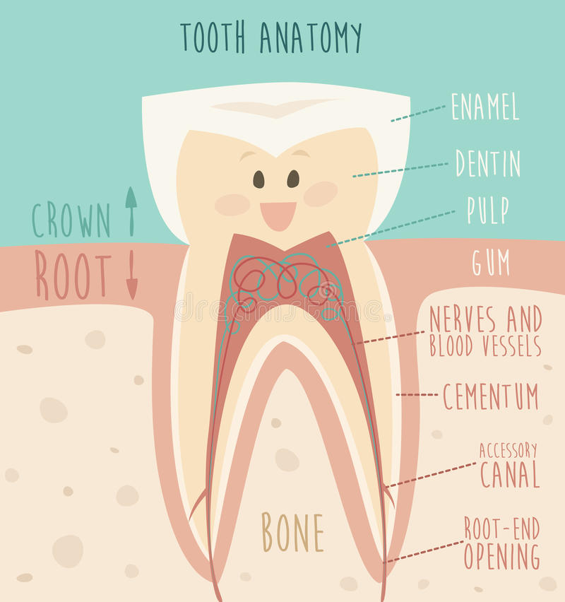 Ανατομία δοντιών, αστεία απεικόνιση δοντιών (έννοια των υγιών δοντιών) ελεύθερη απεικόνιση δικαιώματος