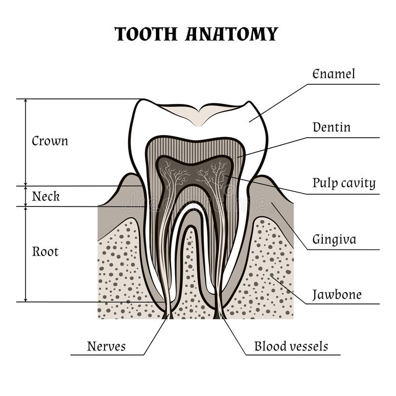 Ανατομία δοντιών διανυσματική απεικόνιση