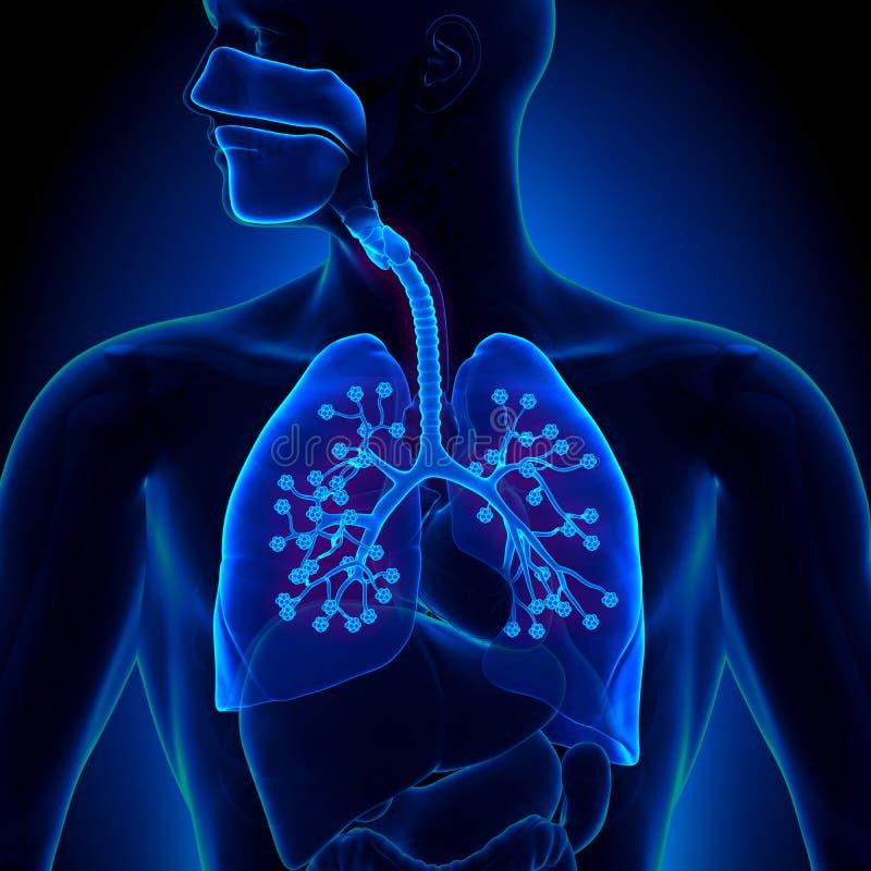 Ανατομία πνευμόνων - με τα λεπτομερή φατνία απεικόνιση αποθεμάτων