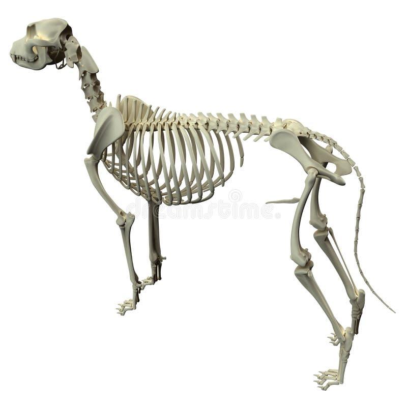 Ανατομία σκελετών σκυλιών - ανατομία ενός αρσενικού σκελετού σκυλιών διανυσματική απεικόνιση
