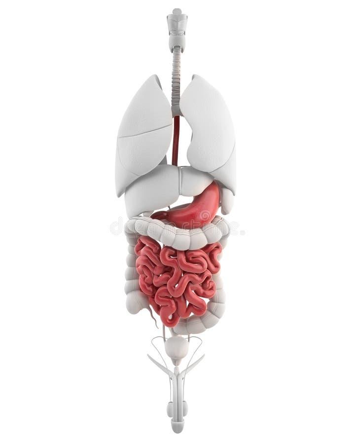 Ανατομία στομαχιών του αρσενικού με όλα τα εσωτερικά όργανα διανυσματική απεικόνιση