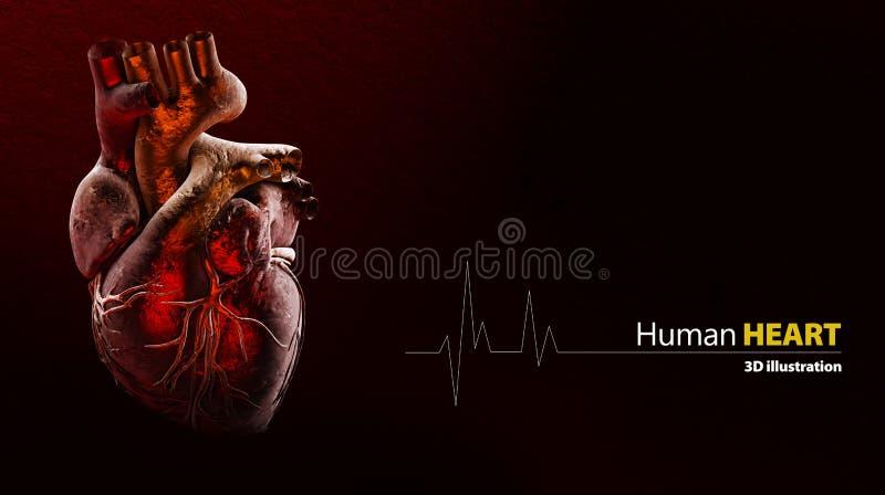 Ανατομία της ανθρώπινης καρδιάς διανυσματική απεικόνιση