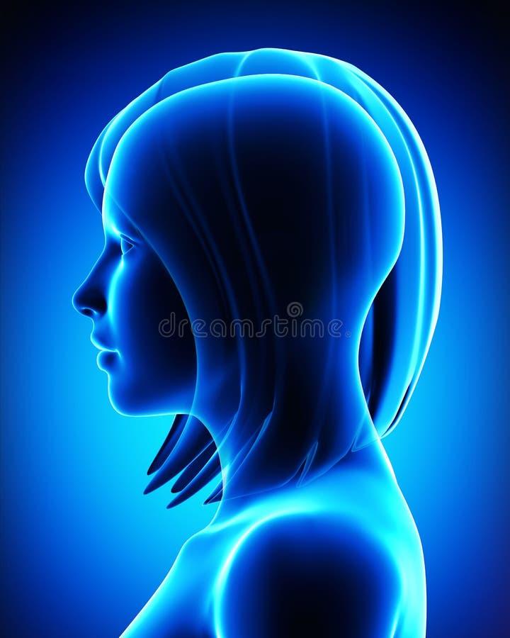 Ανατομία του θηλυκού κεφαλιού διανυσματική απεικόνιση