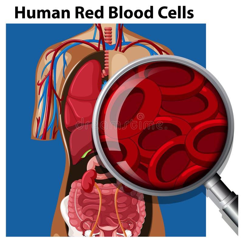 Ανατομία των ανθρώπινων κόκκινων κυττάρων αίματος απεικόνιση αποθεμάτων