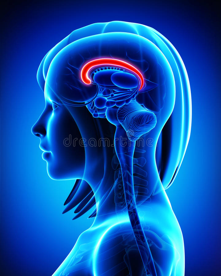 Ανατομία Callosum σωμάτων εγκεφάλου - διατομή διανυσματική απεικόνιση