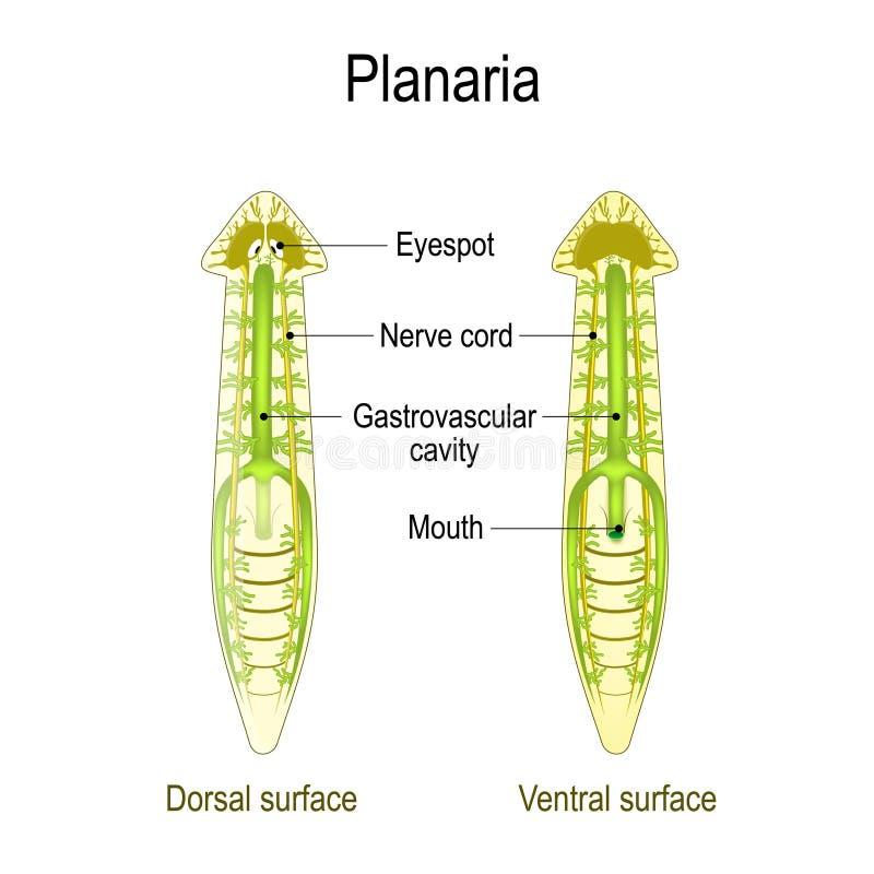Ανατομία Planarian Ραχιαία και Ventral επιφάνεια, Gastrovascular κοιλότητα και σκοινί νεύρων ελεύθερη απεικόνιση δικαιώματος