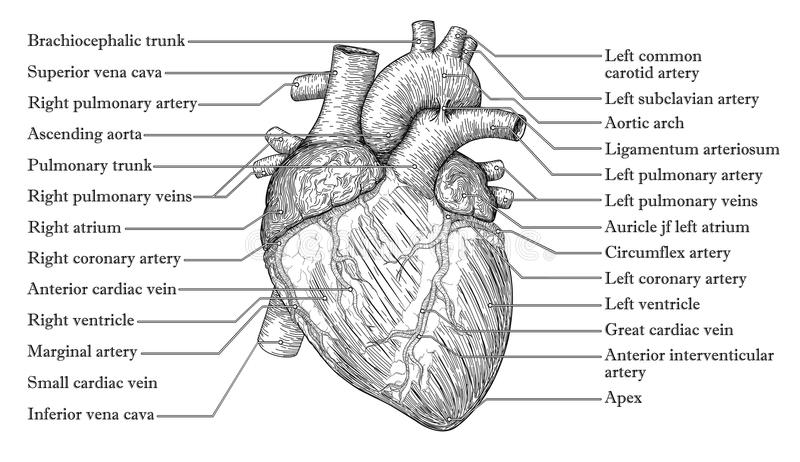 Ανατομικό ανθρώπινο συρμένο χέρι σκίτσο καρδιών με την επιγραφή του nam απεικόνιση αποθεμάτων