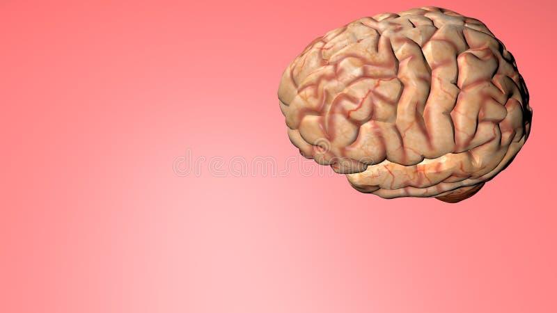 Ανατομικό τρισδιάστατο πρότυπο του ανθρώπινου εγκεφάλου για τους φοιτητές Ιατρικής διανυσματική απεικόνιση