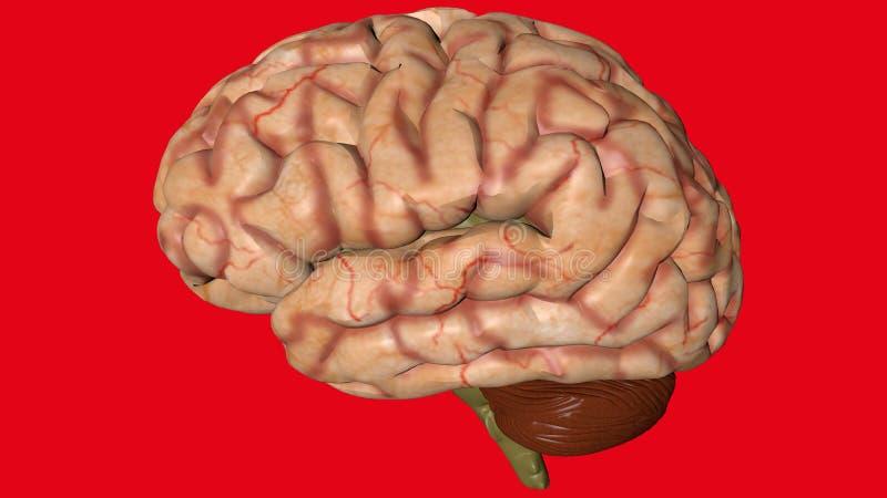 Ανατομικό τρισδιάστατο πρότυπο του ανθρώπινου εγκεφάλου για τους φοιτητές Ιατρικής ελεύθερη απεικόνιση δικαιώματος