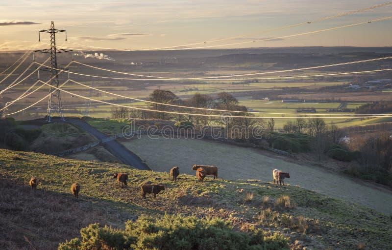 Ανατολή αγελάδων ορεινών περιοχών στοκ εικόνες