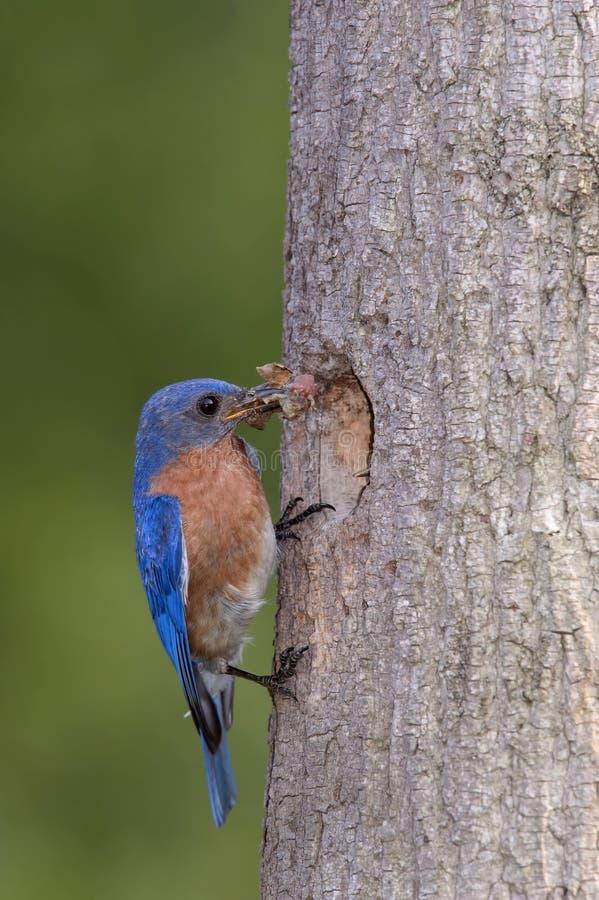 Download Ανατολικά φέρνοντας τρόφιμα Bluebird στη φωλιά Στοκ Εικόνες - εικόνα από ανατολικός, οικογένεια: 62702862