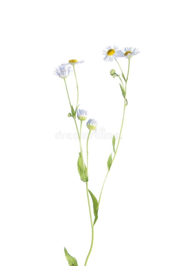 Ανατολική μαργαρίτα fleabane (annuus Erigeron) που απομονώνεται στο λευκό στοκ εικόνες