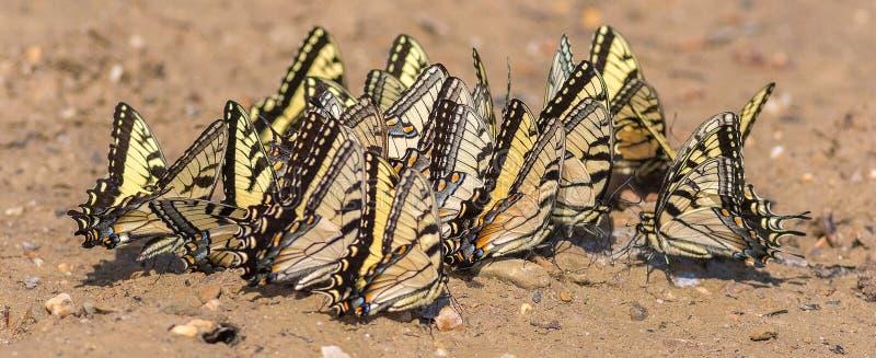 Ανατολική τίγρη Swallowtails που συλλέγει τα μεταλλεύματα στοκ φωτογραφία