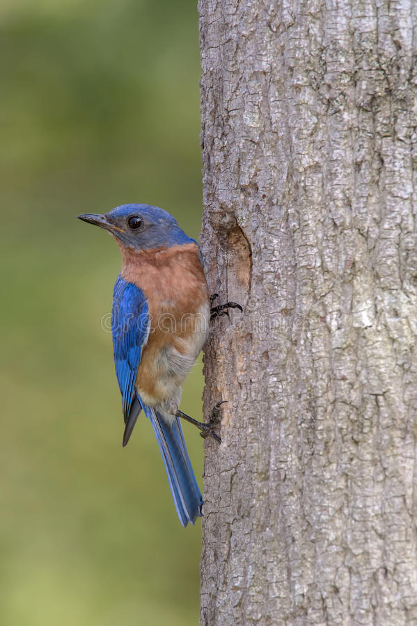 Download Ανατολικό Bluebird στη φωλιά Στοκ Εικόνες - εικόνα από nesting, αρχάριος: 62702942