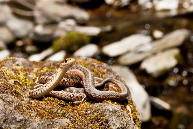 Ανατολικό Garter φίδι στοκ φωτογραφίες