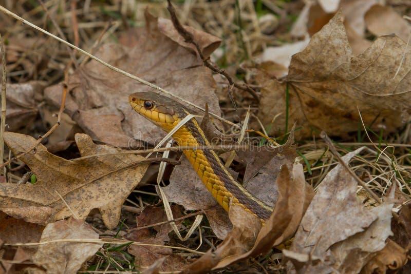ανατολικό garter φίδι στοκ εικόνα